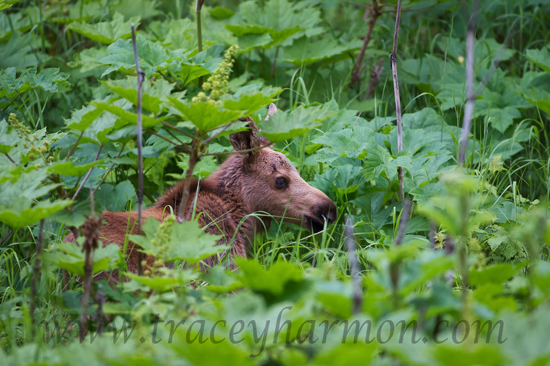 A very young Moose calf seems lost in a sea of early season Devil's Club.