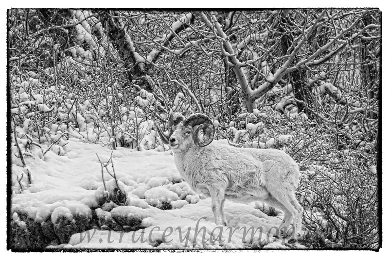 The Dream Ram in black and white!