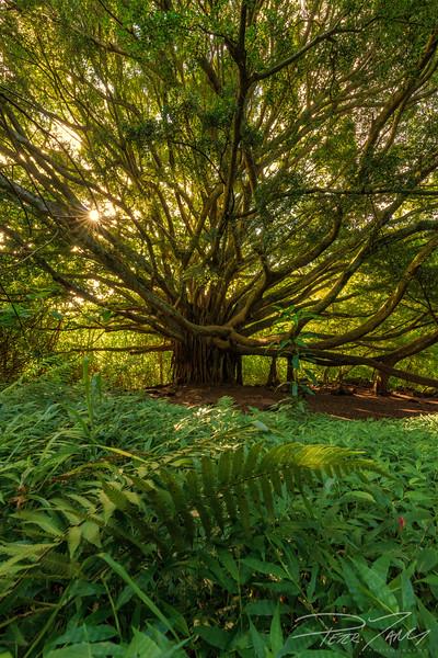 Paiwa Tree