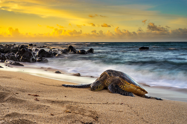 Sand Bed of the Honu