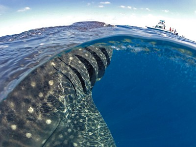 Swimming with whale sharks off the coast of Isla Mujeres