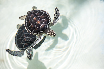 Baby turtle in a pool.
