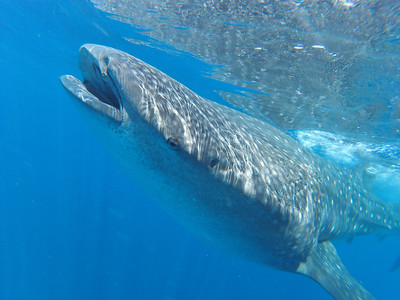 Up close with the whale sharks
