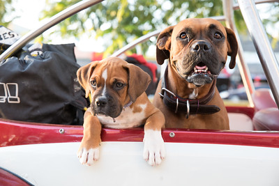 Two dogs looking out of a car.
