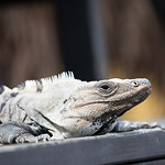 Portrait of an iguana.
