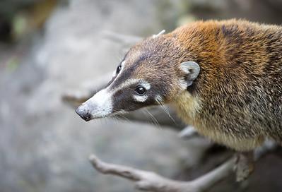 Portrait of a coati.