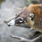 Portrait of a coati.