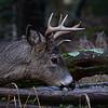 Eight point Buck feeding