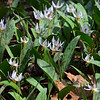 White Trout Lily's
