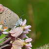 Arcadia Hairstreak