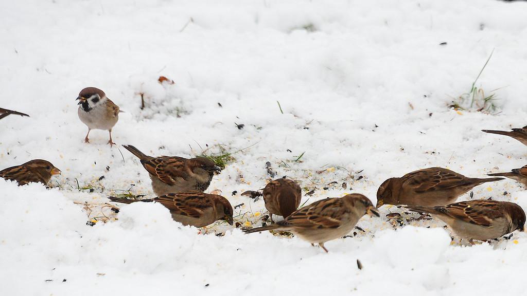 Eruasian Tree Sparrow