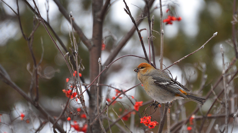 Pine Grosbeak (female).
