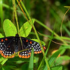 Baltimore Checkerspot.