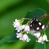Langton's Forester Moth