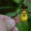 Small Yellow Lady-slipper