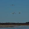 Swans in flight.