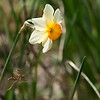 Narcissus & Wasp