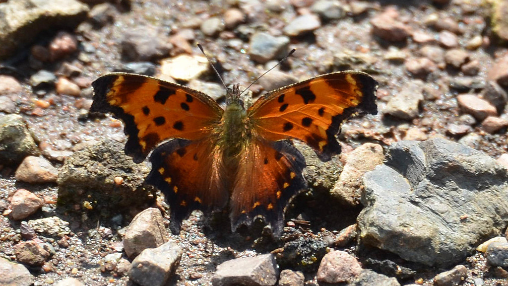 Hoary Comma (upperside)