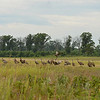 Early Sandhill Cranes