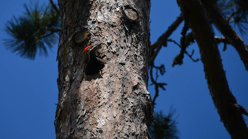Pilated Wodopecker