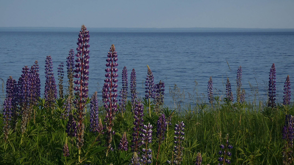 Lake Superior Lupines