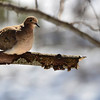 Moruning Dove