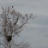 Gurading the nest