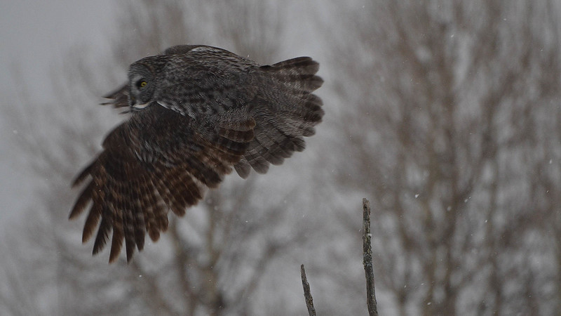 Great Gray in Flight