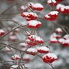 Snowy Mt Ash