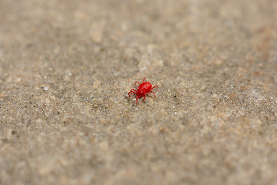 Red mite on concrete