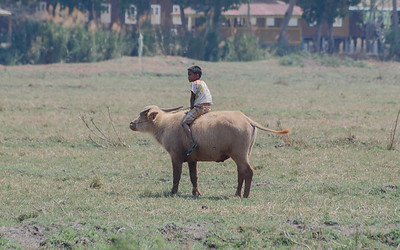 Boy riding an ox