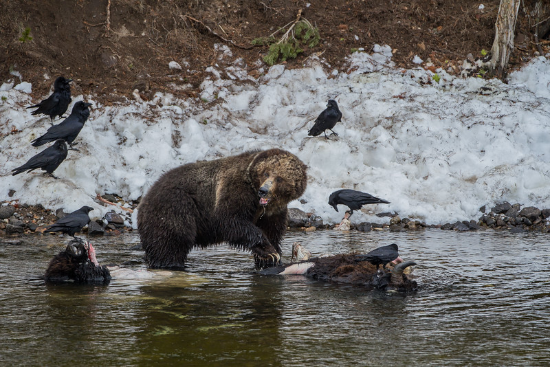 Grizzly Bear, Yellowstone River, Yellowstone National Park, Wyoming, May 2014.