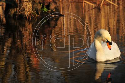 Swan, Aqualate Mere, Newport, Shropshire