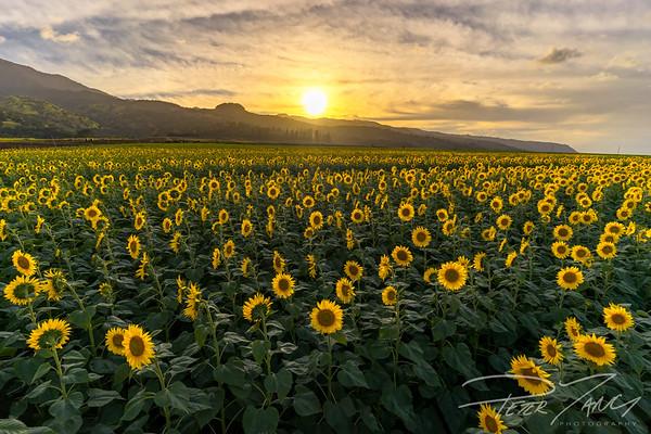 Waialua Sunflower Field