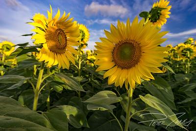 Sunflower Couple