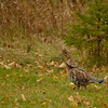Ruff Grouse