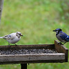 Leucistic Blue Jay and Normal Blue  Jay