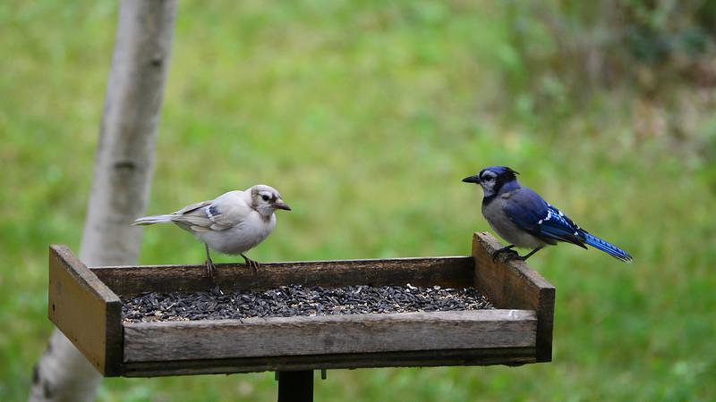 Leucistic Blue Jay and Normal Blue  Jay