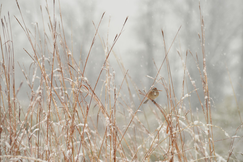 Sparrow (unknown)