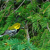 Blackthroated Green Warbler