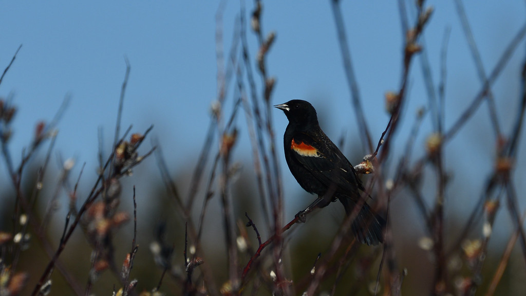 Redwing Blackbird (male)