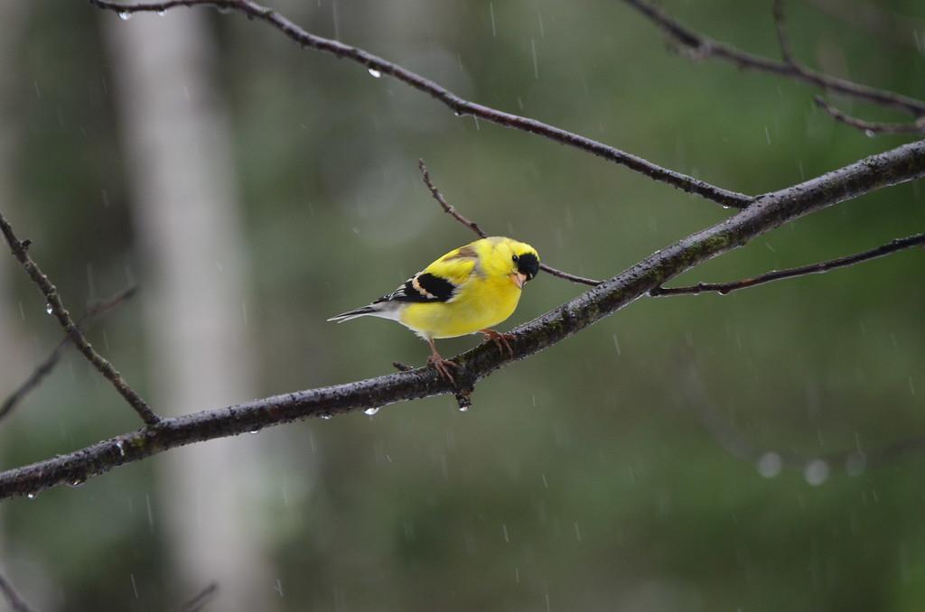 Gold Finch