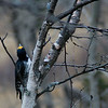 Black Back Woodpecker
