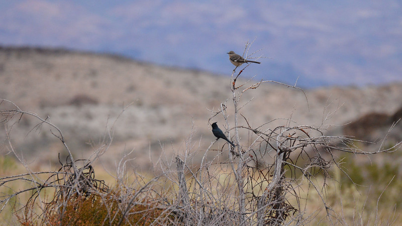 Northern Mockingbird & Phainopepla