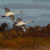 Trumpetered Swans