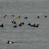 Whitewing Scoter