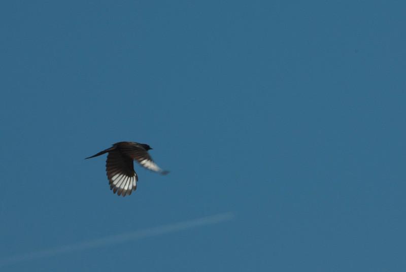 Phainopepla in flight.