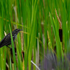 Redwing Blackbird female)