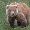 Bear Snarl