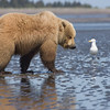 A Bear and A Gull